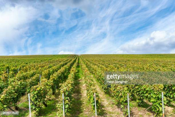 row vine grape in champagne vineyards at montagne de reims - aquitaine stock photos and pictures