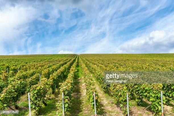 row vine grape in champagne vineyards at montagne de reims - chardonnay grape fotografías e imágenes de stock