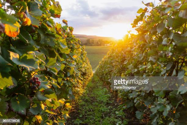row vine grape in champagne vineyards at montagne de reims - campania stock pictures, royalty-free photos & images