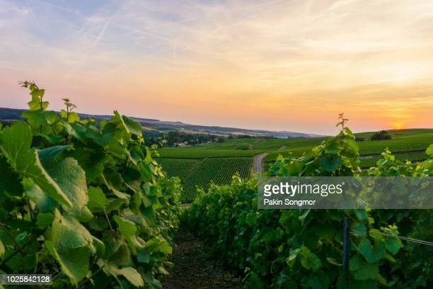 row vine grape in champagne vineyards at montagne de reims countryside village background - ardennes department france stock photos and pictures