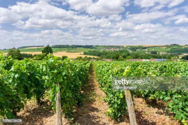 Row vine grape in champagne vineyards at montagne de reims countryside village background