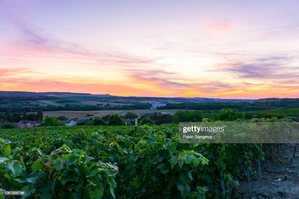 Row vine grape in champagne vineyards at montagne de reims countryside village background : Stock Photo