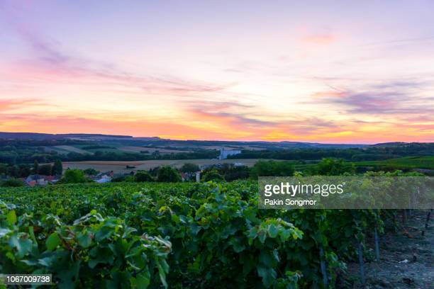 row vine grape in champagne vineyards at montagne de reims countryside village background - chardonnay grape stock photos and pictures