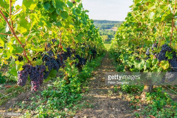 row vine grape in champagne vineyards at montagne de reims countryside village background - bordeaux wine stock photos and pictures