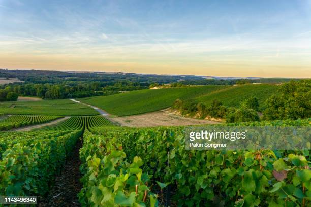 row vine grape in champagne vineyards at montagne de reims countryside village background - local landmark stock pictures, royalty-free photos & images