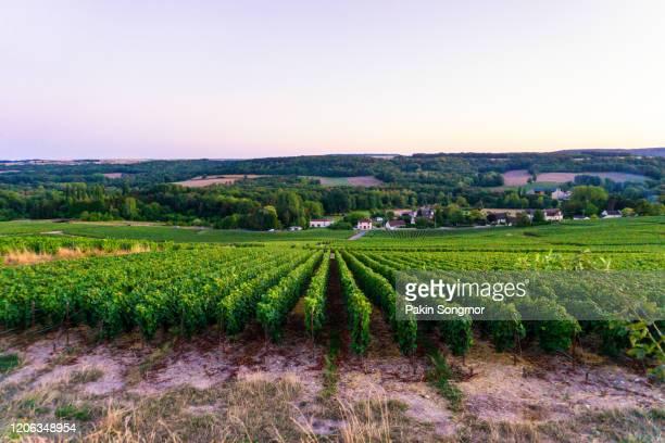 row vine grape in champagne vineyards at montagne de reims countryside village background - reims fotografías e imágenes de stock