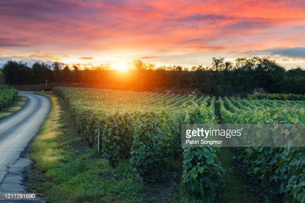 row vine grape in champagne vineyards at montagne de reims countryside village background - reims stock pictures, royalty-free photos & images