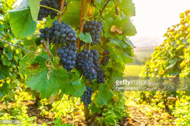 row vine grape in champagne vineyards at montagne de reims countryside village background - aquitaine stock photos and pictures
