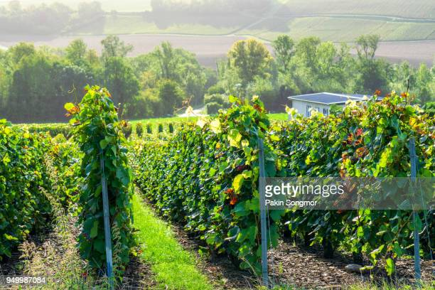 row vine grape in champagne vineyards at montagne de reims countryside village background, france - エペルネ ストックフォトと画像