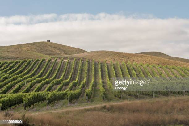 row vine grape in vineyards - blenheim new zealand stock pictures, royalty-free photos & images