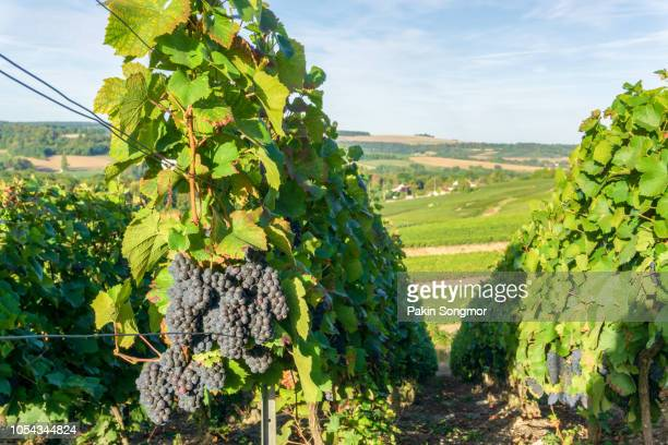 Row vine green grape in champagne vineyards at montagne de reims on countryside village background
