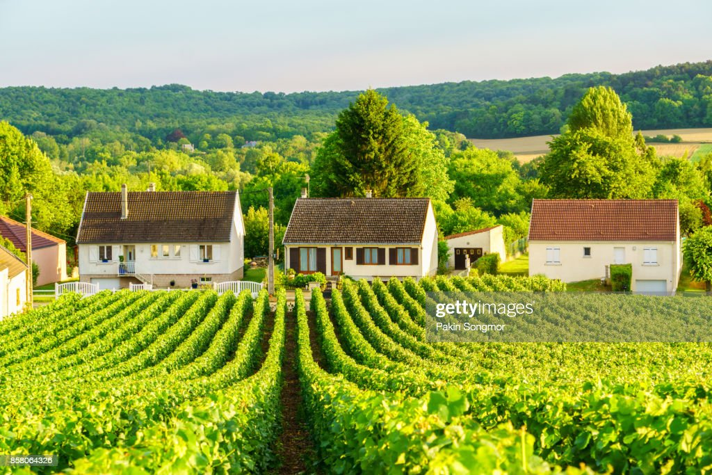 Row vine green grape in champagne vineyards at montagne de reims on countryside village background, France : Stock Photo