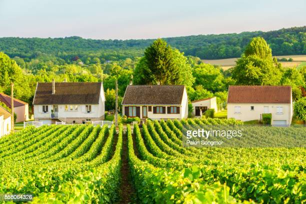 row vine green grape in champagne vineyards at montagne de reims on countryside village background, france - aquitaine stock photos and pictures