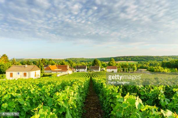 Row vine green grape in champagne vineyards at montagne de reims on countryside village background, France