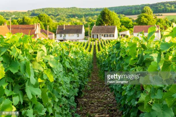row vine green grape in champagne vineyards at montagne de reims on countryside village background - エペルネ ストックフォトと画像
