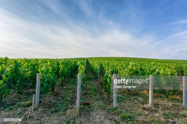 Row vine green grape in champagne vineyards at montagne de reims
