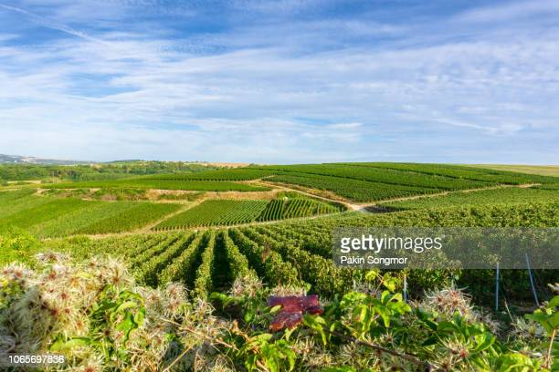 row vine green grape in champagne vineyards at montagne de reims - エペルネ ストックフォトと画像