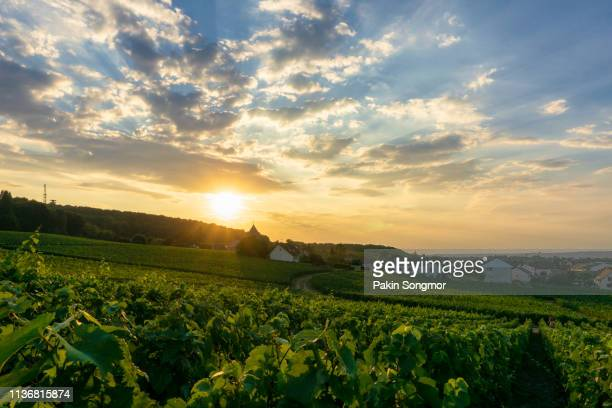 row vine green grape in champagne vineyards at montagne de reims - ardennes department france stock photos and pictures