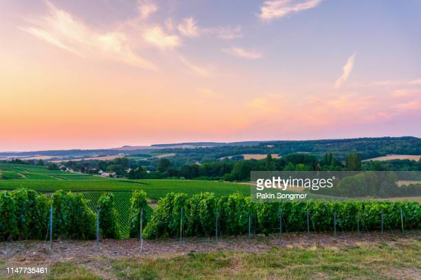 row vine green grape in champagne vineyards at montagne de reims - campania stock pictures, royalty-free photos & images