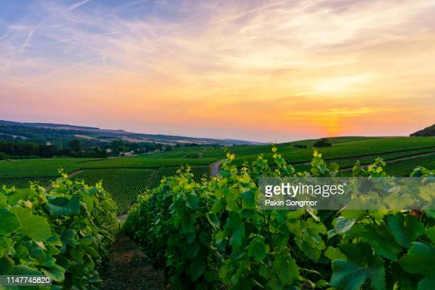 row vine green grape in champagne vineyards at montagne de reims - gironde stock pictures, royalty-free photos & images