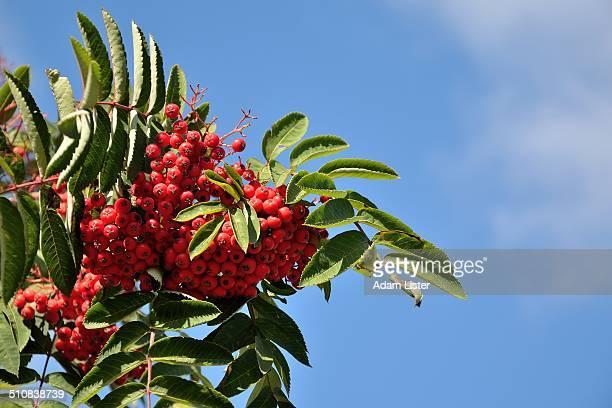 Rowan Berries in the Sun
