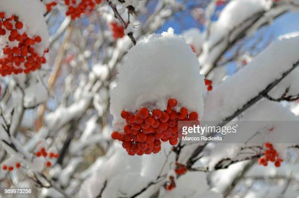 rowan berries in winter - radicella stock photos and pictures