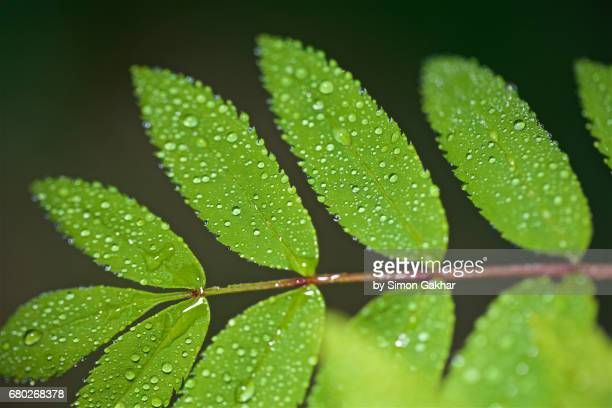 rowan leaves with droplets at high resolution showing extreme detail - photosynthesis stock photos and pictures