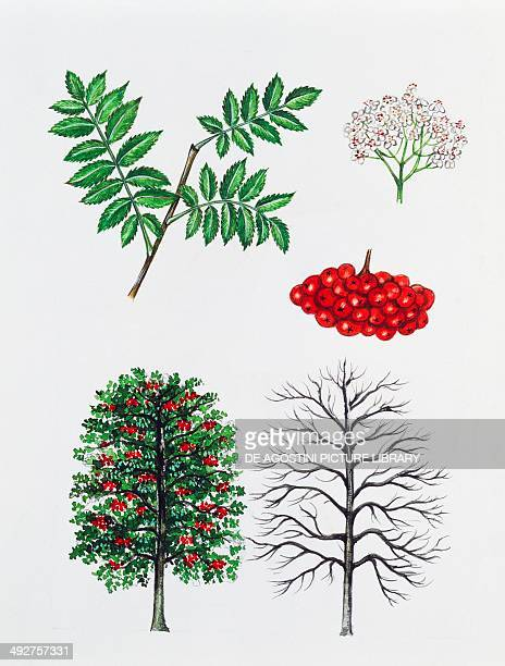 Rowan or Mountainash Rosaceae tree with and without foliage leaves flowers and fruits illustration