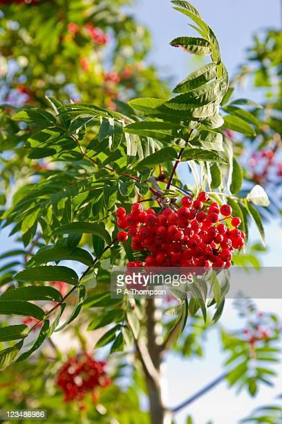Rowan tree in berry