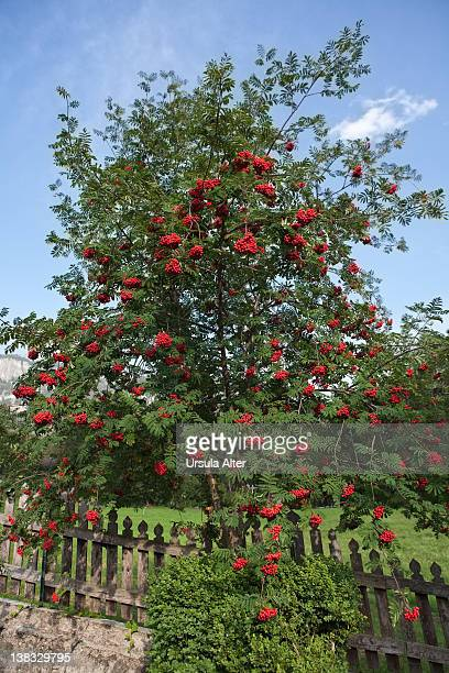 rowan tree ( sorbus aucuparia )