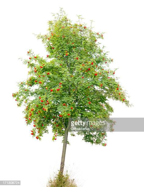 Rowan Tree/Ash (Sorbus aucuparia) with red fruits isolated on white.