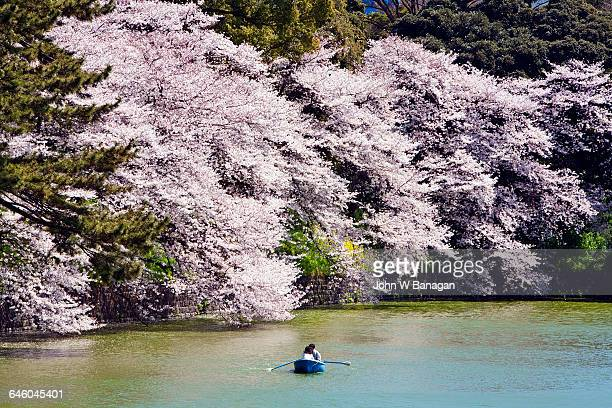 Rowing along cherry blossom-lined Chidorigafuchi.