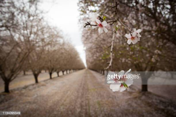 rows of almond nut trees flowers blooming in orchard - jason todd stock photos and pictures