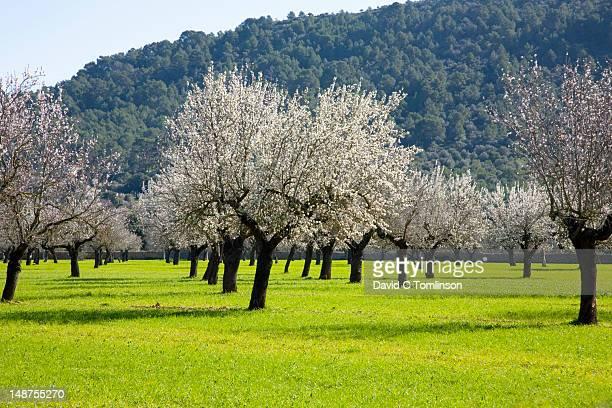 Rows of almond trees (Prunus dulcis) in bloom.