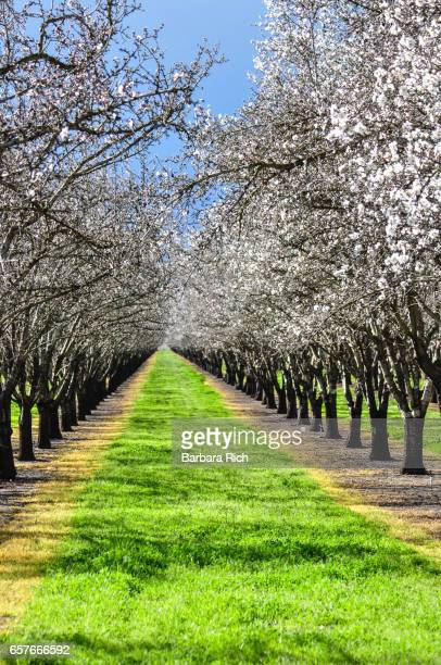 Rows of almond trees in bloom showing mowed and herbicide sprayed strips between