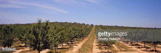 rows of almond trees  - timothy hearsum stock-fotos und bilder