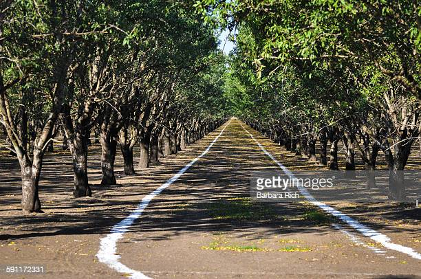 Rows of Almond trees with stripes of fertilizer