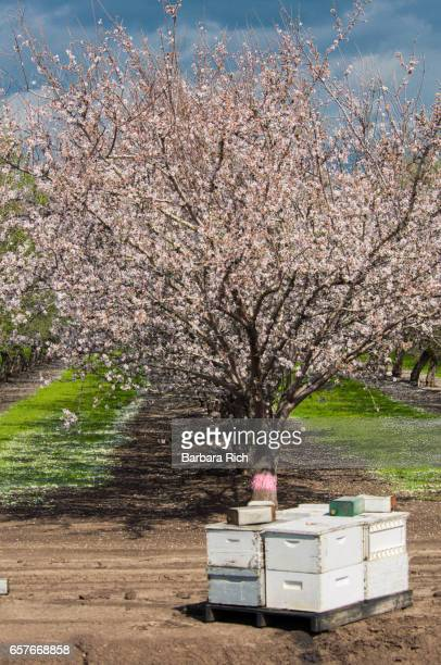 Rows of almonds trees in bloom with beehives to aid in pollination