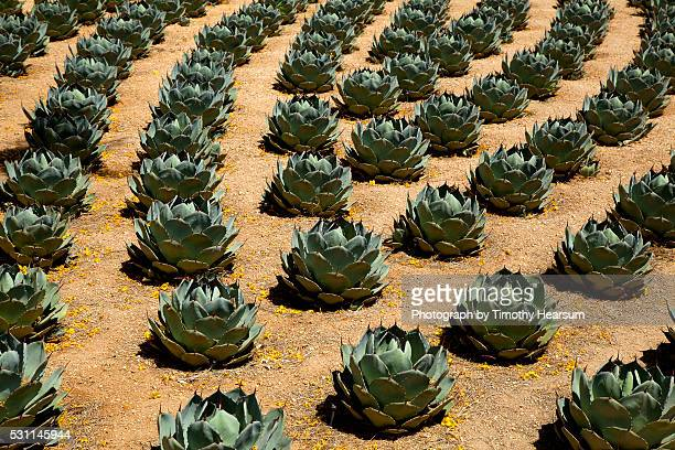 rows of artichoke agave in a formal garden with yellow palo verde blossoms on the ground - timothy hearsum ストックフォトと画像