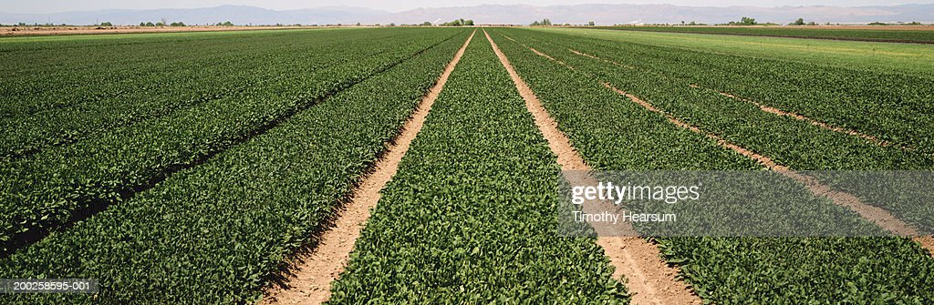 Rows of arugula, mountains in background, spring : Foto de stock