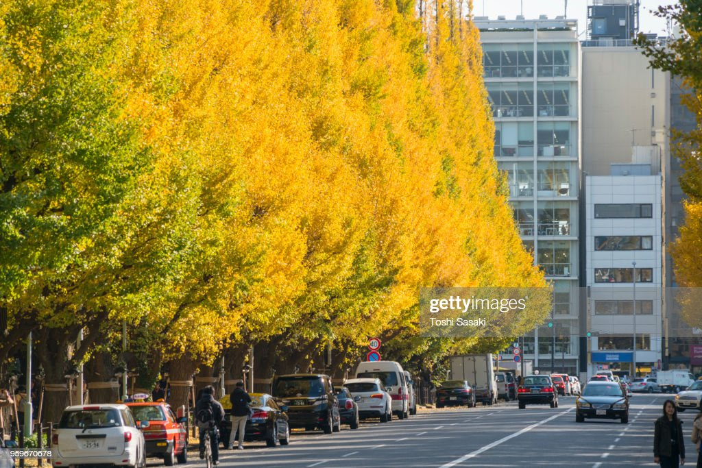 Rows of autumn leaves ginkgo trees stand along both side of the  Ginkgo Tree Avenue, and surround traffic on the avenue at Jingu Gaien, Chhiyoda Ward, Tokyo Japan on November 17 2017. Ginkgo trees are glowing by late afternoon sunlight. : Stock-Foto