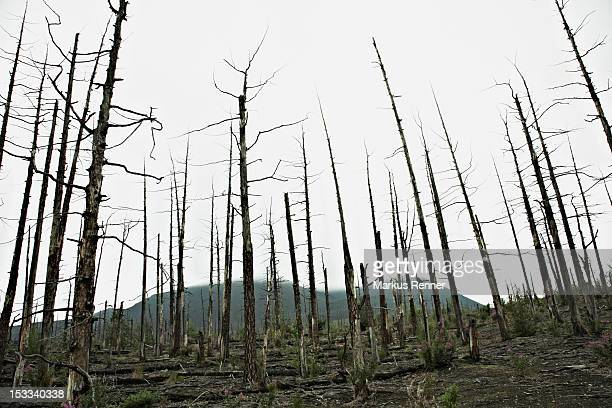 rows of bare trees in the dead forest near the tolbachik volcano, russia - unheilschwanger stock-fotos und bilder