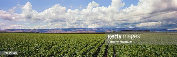 rows of bean plants with mountains beyond - timothy hearsum stockfoto's en -beelden