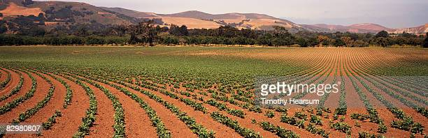 rows of beans in contour pattern - timothy hearsum stock pictures, royalty-free photos & images