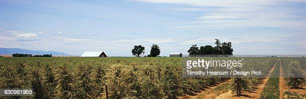 rows of blooming olive trees are seen in late spring with farm buildings, clouds and blue sky in the background, central valley - timothy hearsum stock pictures, royalty-free photos & images