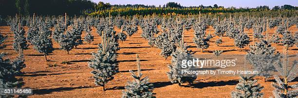 rows of blue spruce trees - timothy hearsum stock pictures, royalty-free photos & images