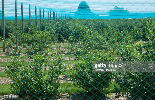 rows of blueberry bushes seen through an enclosure of blue netting - timothy hearsum stock pictures, royalty-free photos & images
