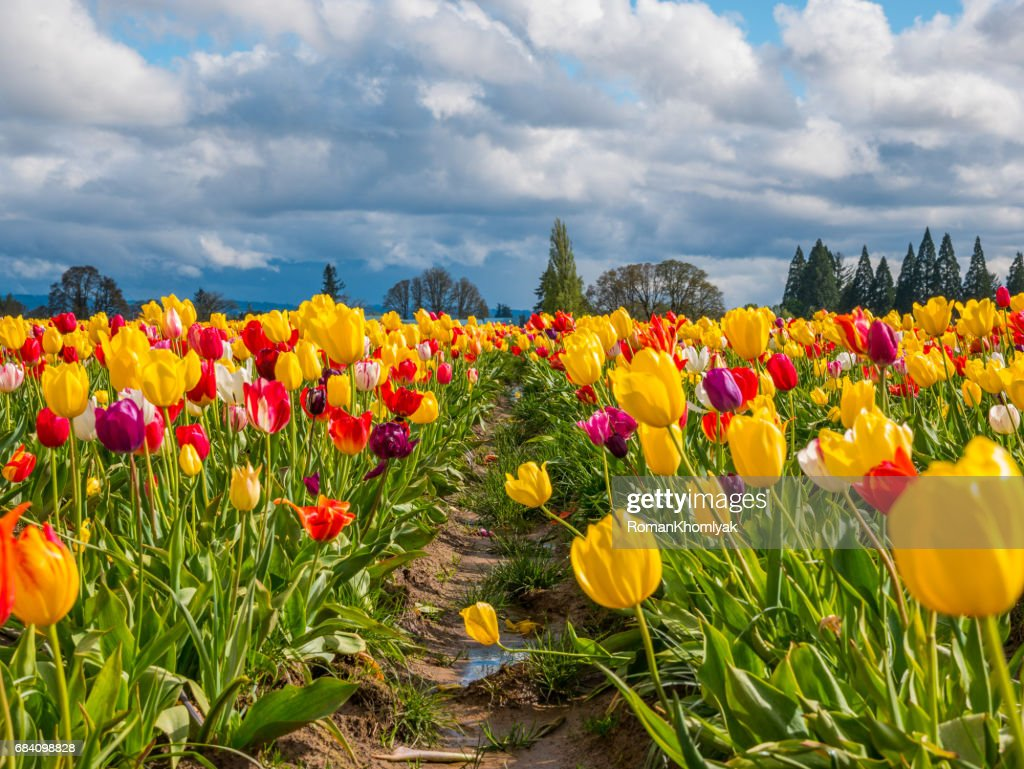 Rows Of Bright Tulips In A Field Beautiful Tulips In The Spring