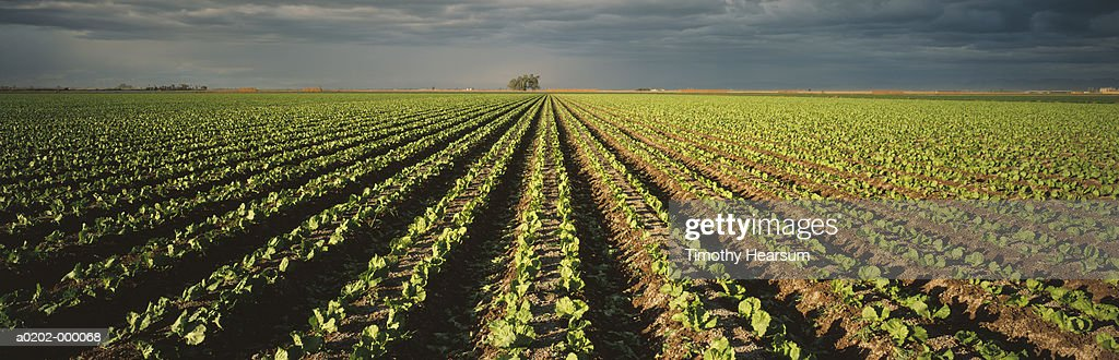 Rows of Cabbages : Stock Photo