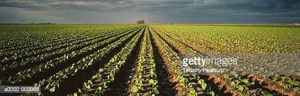 rows of cabbages - timothy hearsum fotografías e imágenes de stock